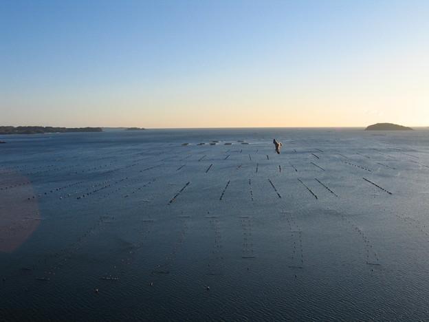 朝の志津川湾を翔けるウミネコ