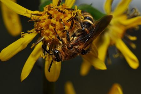 ツチバチ科 キンケハラナガツチバチ♀