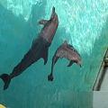 美ら海水族館 イルカのフジ14