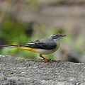 Photos: キセイキレイ(Grey Wagtail) DSC_3745_R