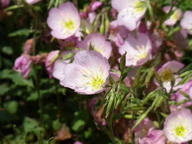 桃色昼咲月見草 2