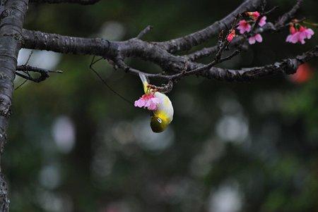 緋寒桜の甘い蜜を求めて・・