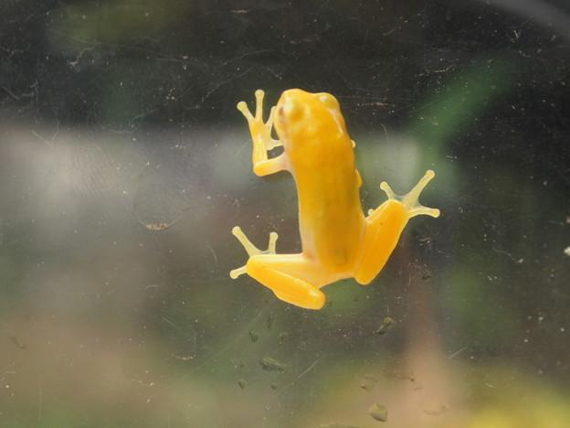 黄色のカエル(1)