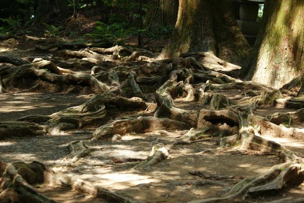 大杉権現 木の根