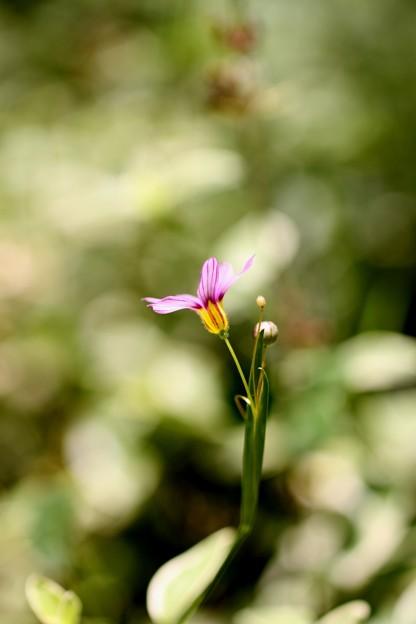 Photos: 庭に咲いてるやつ(5) ニワゼキショウ