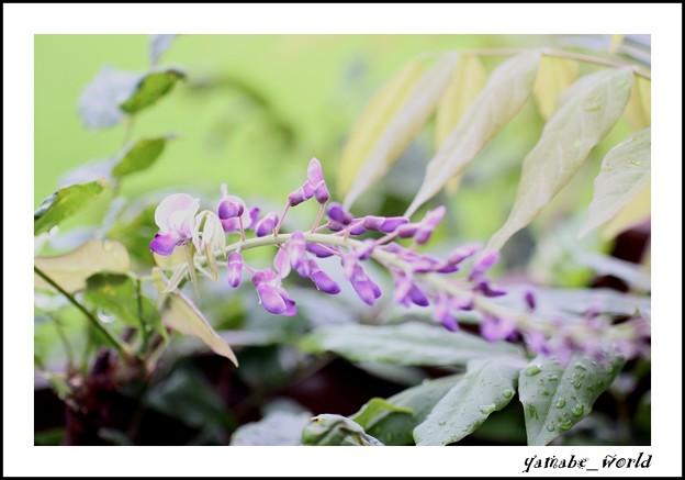 Photos: 何故か今頃藤が咲きました、、、