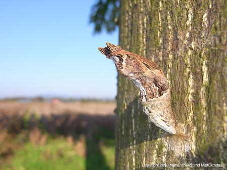 モンキアゲハ 蛹