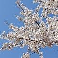 Photos: 多摩川沿いの桜20