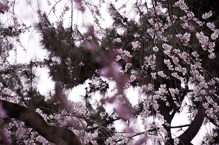 2011-04-02_京都御所_桜07