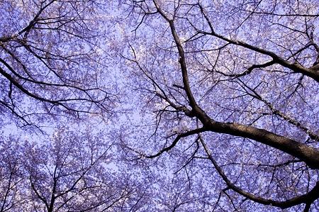 20110414昭和記念公園_桜28