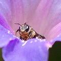 写真: ミツバチの顔