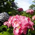 写真: 下田公園・あじさい祭2012(静岡県下田市)