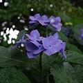 Photos: 御霊神社の紫陽花
