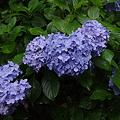 写真: 御霊神社の紫陽花