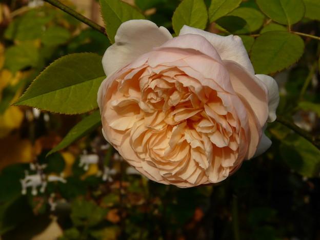 62 アンブリッジ・ローズ Ambridge Rose