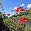 2011年9月19日 長尾川河畔 彼岸花 6