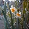 写真: 玄関先に大好きな水仙が咲いたよ^^花が咲くと、そこがぽっと暖かいね♪