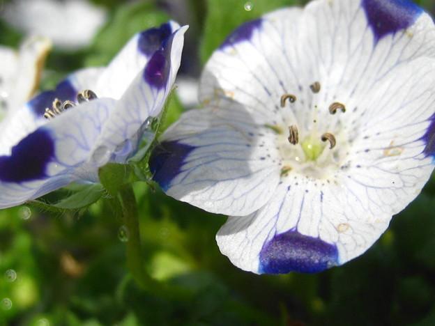 ネモフィラの花拡大3