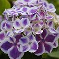 紫陽花 14