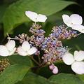紫陽花 16