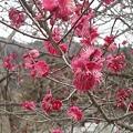 Photos: 3月29日「紅梅」