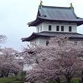 Photos: 松前 桜 10.5.8