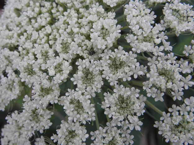 人参の白い花