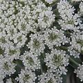 Photos: 人参の白い花