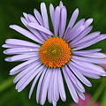 Aster 6-20-10