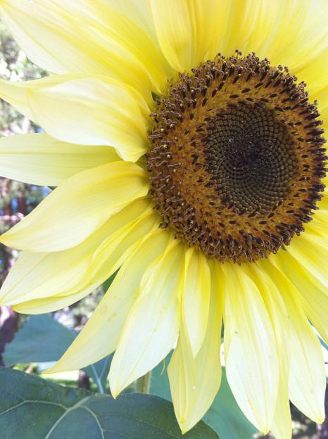 写真: Sunflower at My Work