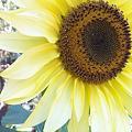 Sunflower at My Work