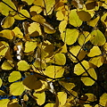 Witch Hazel in Yellow 10-19-10