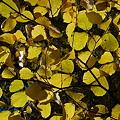 Witch Hazel in Yellow 10-19-10