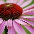 Photos: Echinacea 'Prairie Splendor' 7-12-11