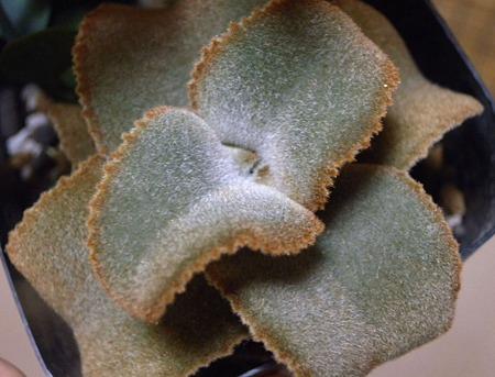 Kalanchoe beharensis compact form