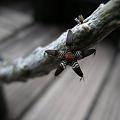 写真: Rhytidocaulon macrolobum