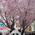 写真: 桜咲く〓