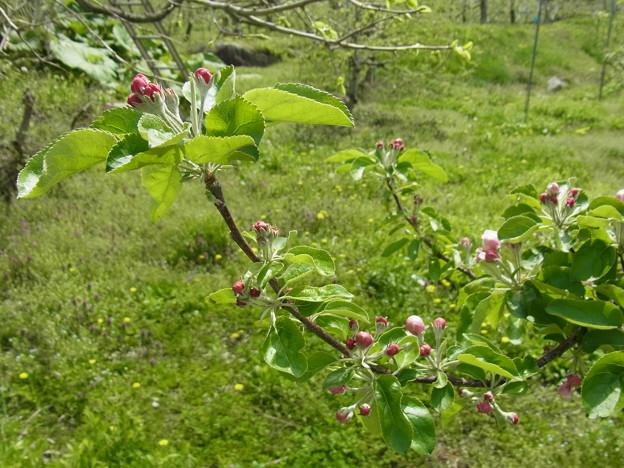 Photos: リンゴの木にも春近し!!