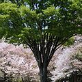 新緑と桜と菜の花畑