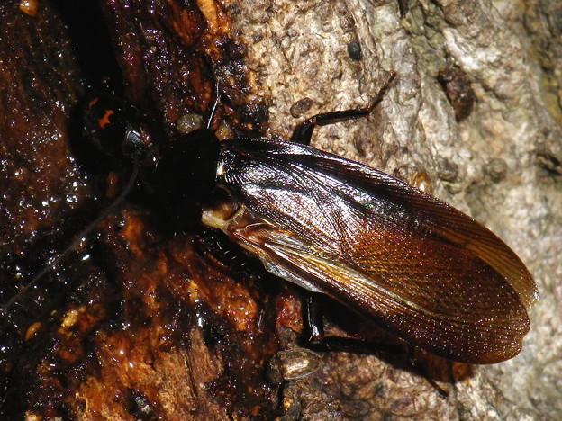 ヤマトゴキブリ♂