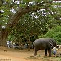 水を飲む象