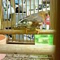 写真: キンカ鳥。 ジャンボキンカ...