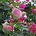 写真: ピンク&白の可愛い薔薇 ♪