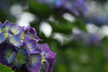 紫陽花_5440
