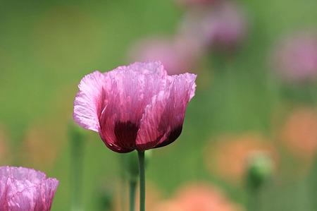 2010.05.13 境川 紫のポピー