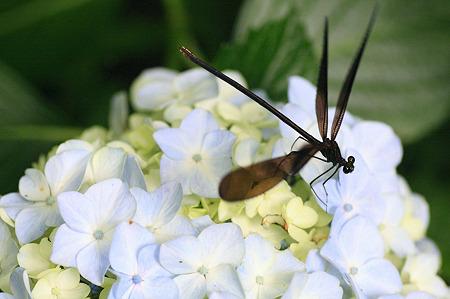 2010.06.22 和泉川 紫陽花にハグロトンボ
