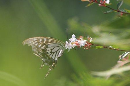 2010.08.03 和泉川 ハナツクバネウツギに疲れてアゲハチョウ