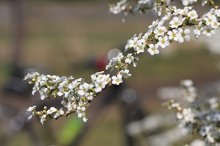 2011.03.29 和泉川 雪柳と自転車