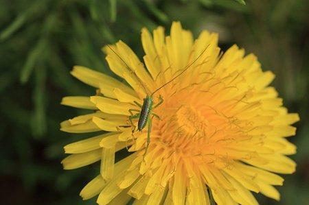 2011.04.21 追分市民の森  タンポポにコロギスの幼虫