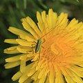 Photos: 2011.04.21 追分市民の森  タンポポにコロギスの幼虫